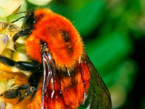 Salvemos nuestro abejorro