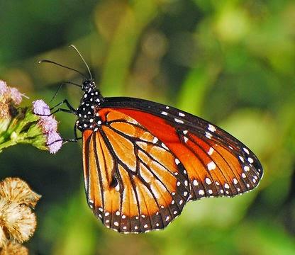 Micra, Mapeando mariposas de Chile