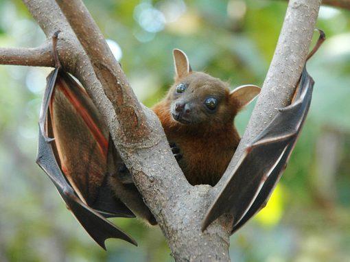 Murciélagos de Chile